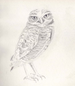 burrowing owl-pencil